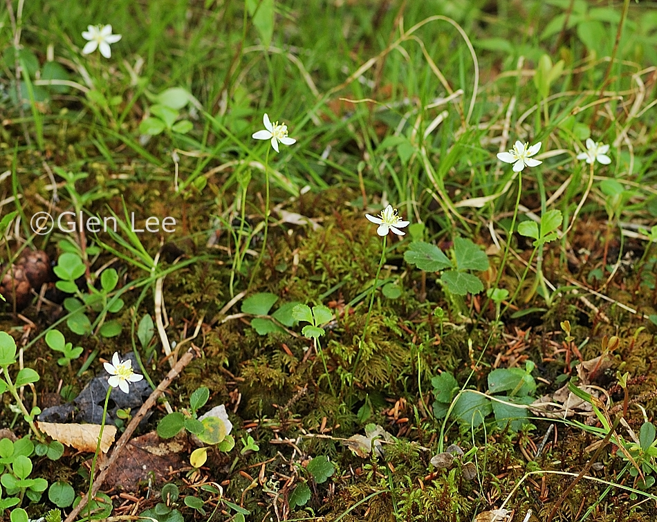 Coptis Trifolia Photos Saskatchewan Wildflowers