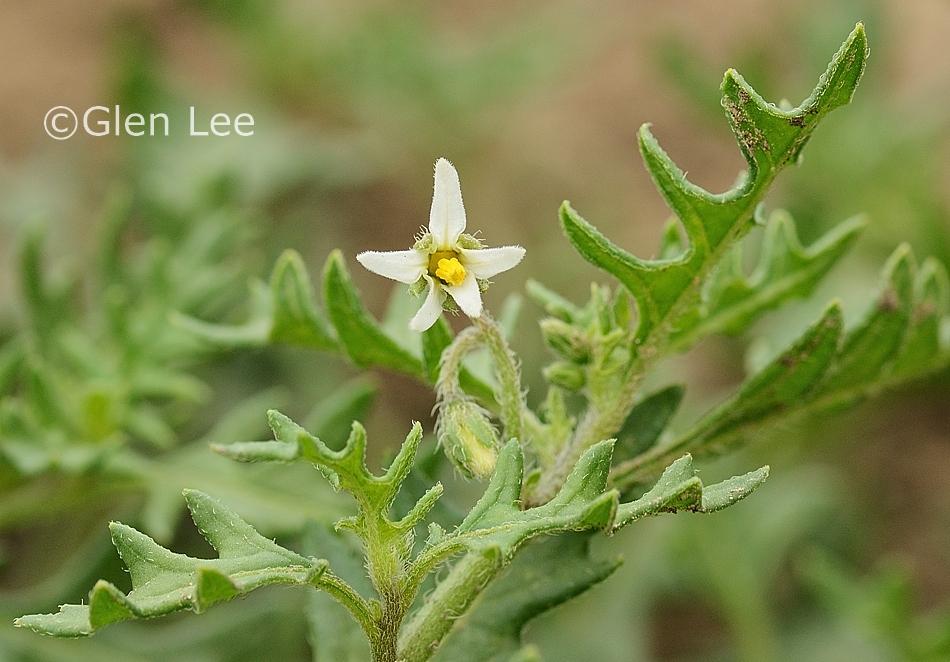 Plants Profile for Solanum triflorum (cutleaf nightshade)