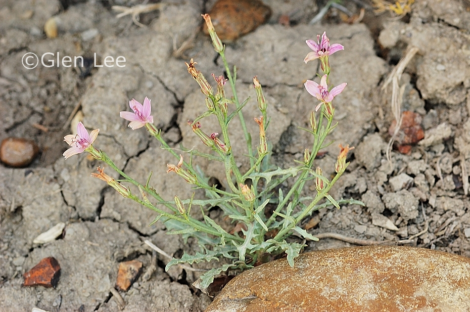 Stephanomeria runcinata